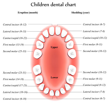 Pediatric Dentist in Philadelphia and Wynnewood, PA - Tooth Eruption Chart